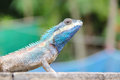 Blue lizard crested calotes mystaceus Stock Photos