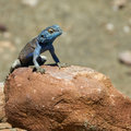 Blue Lizard on a Rock Stock Photos