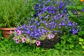 Blue lobelia, pink surfinia and rozmary Stock Image