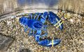 Blue lobster in an aquarium Royalty Free Stock Photo