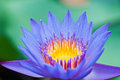 The blue lotus in full bloom Stock Photos