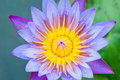 The blue lotus in full bloom Stock Photo