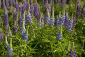 Blue lupin Royalty Free Stock Photography