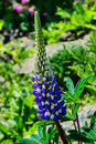 Blue lupin flower growing in the gardens at lyme regis dorset Stock Photo