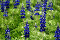 Blue Lupin flowers Royalty Free Stock Photos