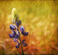 Blue lupine Royalty Free Stock Images