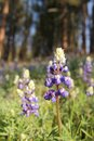 Blue lupine in a field during spring season Stock Photography
