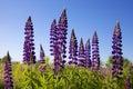 Blue lupine flower background