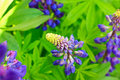 Blue lupins Stock Photography