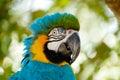 Blue Macaw bird Royalty Free Stock Photo