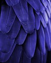 Blue Macaw Feathers Royalty Free Stock Photo