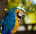 Blue Macaw Parrot Stock Photography