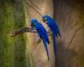 Blue Macaws at Parque das Aves - Foz do Iguacu, Parana, Brazil Royalty Free Stock Photo