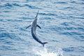 Blue Marlin jumping Royalty Free Stock Photo