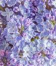 Blue mauve syringa vulgaris lilac or common lilac family ole oleaceae close up white background Stock Photography