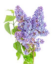 Blue mauve syringa vulgaris lilac or common lilac family ole oleaceae close up white background Royalty Free Stock Photos