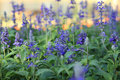 Blue Meadow Sage flower Salvia Pratensis or Herbaceous Perennial Palnt Royalty Free Stock Photo