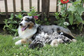 Blue Merle Australian Shepherd Female nursing puppies Royalty Free Stock Photo