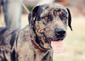 Blue Merle Catahoula Royalty Free Stock Photography