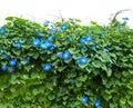 Blue Morning Glory Flower Plant