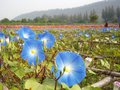 Blue morning glory flowers Royalty Free Stock Image