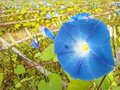 Blue morning glory flowers Stock Images