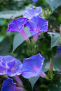 Blue morning glory flowers close up Royalty Free Stock Images
