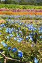 Blue morning glory flowers in garden Stock Photography