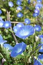 Blue morning glory flowers in garden Stock Photos