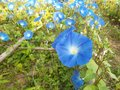 Blue morning glory flowers in garden Royalty Free Stock Photos
