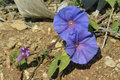 Blue morning glory ipomoea indica garden flower invasive weed from california Stock Photo
