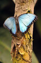 Blue Morpho Butterfly Stock Photo