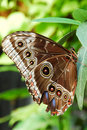 Blue Morpho Butterfly Royalty Free Stock Photos