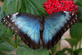 Blue Morpho Butterfly Royalty Free Stock Photo