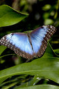 Blue morpho butterfly morpho peleides resting on a bamboo leaf also known as common or the emperor Stock Photos