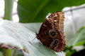 Blue morpho butterfly sitting on a big leaf profile of green tropical plant with it s wings closed Stock Image