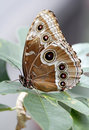 Blue Morpho Peleides Butterfly (underside colors) Stock Image