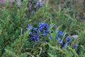 Blue mountain flowers. Royalty Free Stock Photo