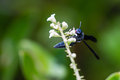 Blue Mud Dauber Wasp Royalty Free Stock Photo