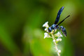 Blue mud dauber wasp a dark on a white flower looking for nectar Stock Photography