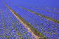 Blue Muscari (hyacinth) field - II Stock Photos
