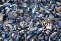 Blue mussel shells Royalty Free Stock Photography