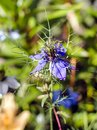 Blue Nigella damascena flower, known also as `love-in-a-mist`, in sunny summer day Royalty Free Stock Photo