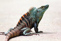 Blue and Orange Crested Costa Rican Iguana Royalty Free Stock Photo