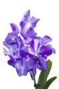 Blue orchid vanda on white sansai isolated background Stock Photos