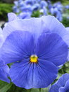 Blue pansy beautiful blooming in garden Stock Images