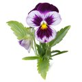 Blue pansy with a bud close up isolated on white background Royalty Free Stock Images