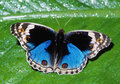 Blue Pansy Butterfly Royalty Free Stock Photography