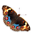 Blue pansy butterfly beautiful junonia orithya isolated on white background Royalty Free Stock Photo