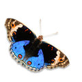 Blue pansy butterfly beautiful junonia orithya isolated on white background Royalty Free Stock Photos